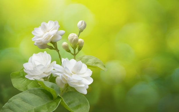 Jaśminowy kwiat na zieleni Premium Zdjęcia
