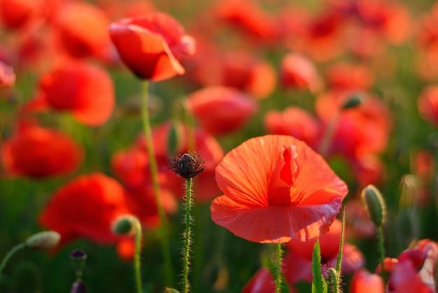 Jasne Czerwone Kwiaty Maku. Nieostrość. Kolor Zachodzącego Słońca. Premium Zdjęcia