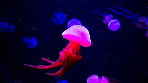 Jasne, Przezroczyste Neonowe Meduzy W Akwarium Premium Zdjęcia