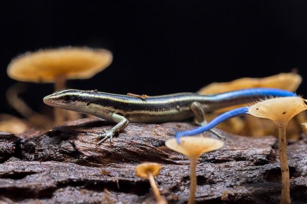 Jaszczurka Emoia Caeruleocauda Pacific Bluetail Skink Premium Zdjęcia