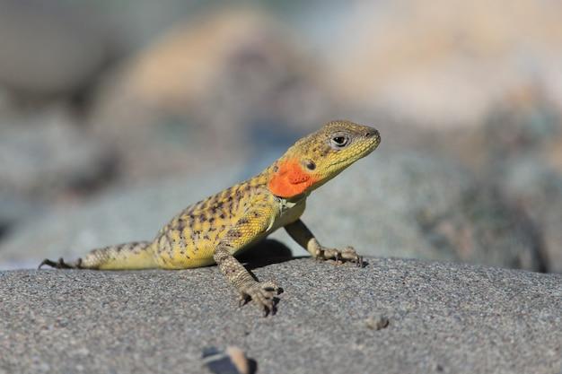 Jaszczurka Gad Przewodzi Na Skale Przy Ladakh, India. Premium Zdjęcia