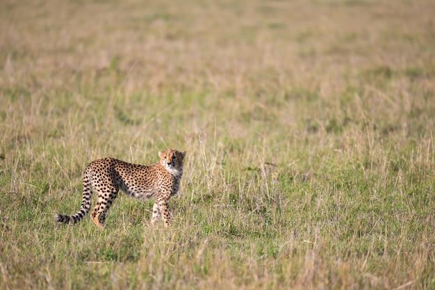 Jeden Gepard W Trawiastym Krajobrazie Między Krzakami Premium Zdjęcia