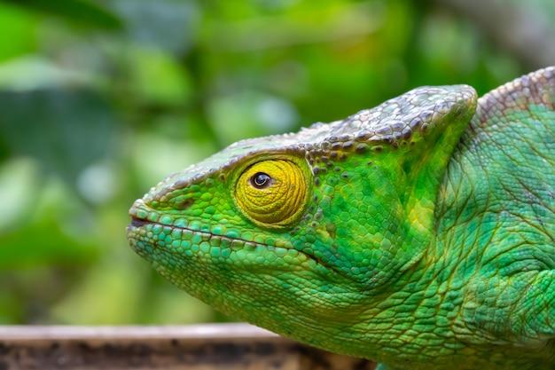 Jeden Kameleon W Zbliżeniu W Parku Narodowym Na Madagaskarze Premium Zdjęcia