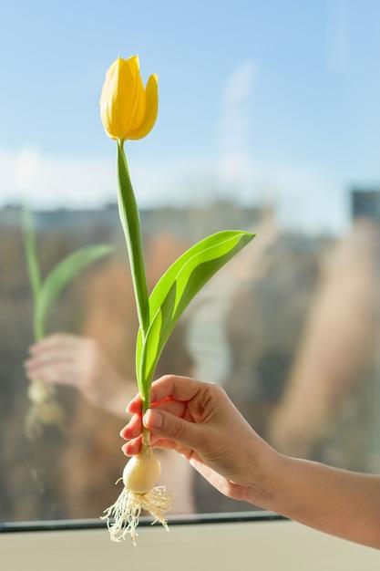 Jeden kwiatu żółty tulipan w żeńskim ręki tła niebieskim niebie i sunse Premium Zdjęcia