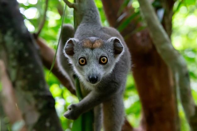 Jeden Lemur Koronny Czołga Się Po Gałęziach Drzewa Premium Zdjęcia