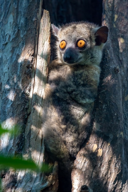 Jeden Mały Lemur Ukrył Się W Dziupli Drzewa I Zegarki Premium Zdjęcia