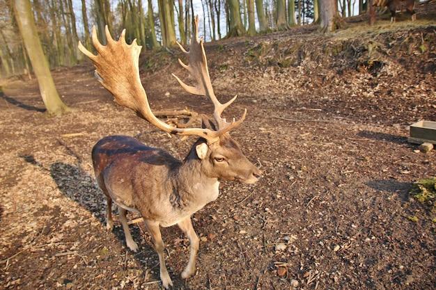 Jeleń Stojący W Lesie Premium Zdjęcia
