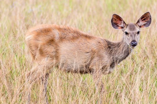 Jelenie Płowe Stojące W Wysokiej Trawie. Premium Zdjęcia