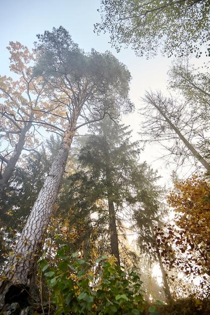 Jesień Mglisty Las Z Gałęzi Drzew O żółtych Liściach Premium Zdjęcia