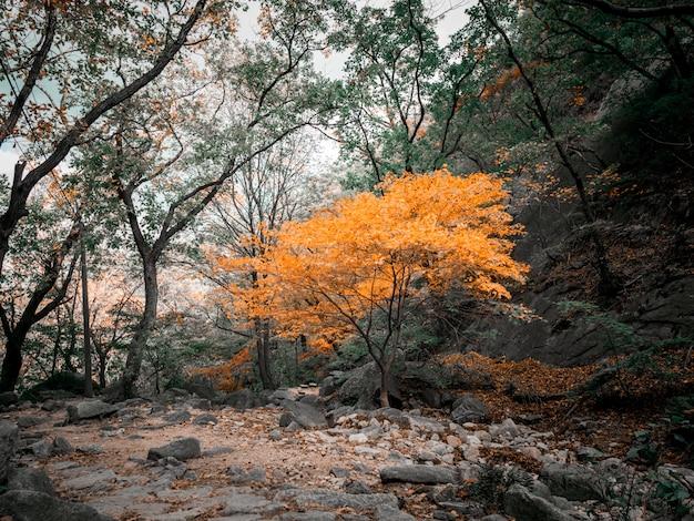 Jesieni żółty drzewo w koreańskich górach Premium Zdjęcia