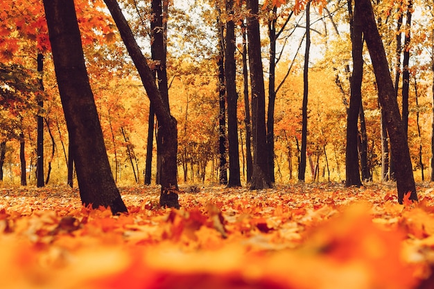 Jesienny Park Drzew I Opadłych Liści Jesienią Na Ziemi W Parku W Słoneczny Dzień Października. Premium Zdjęcia