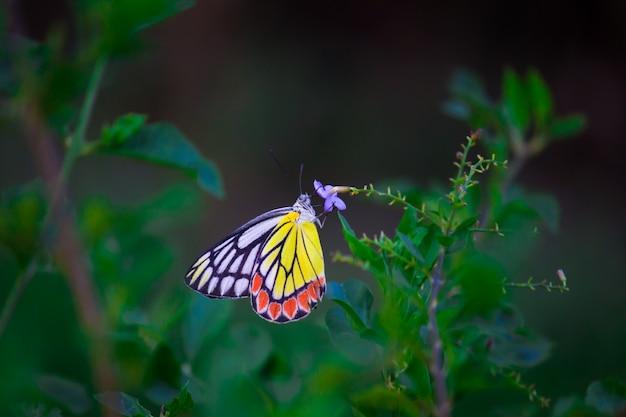 Jezebel butterfly Premium Zdjęcia
