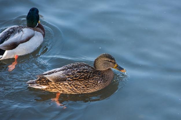 Kaczka pływanie w jeziorze Premium Zdjęcia