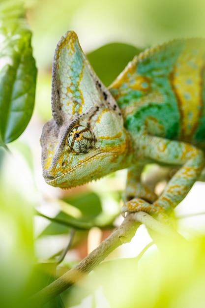 Kameleon Jemeński Premium Zdjęcia