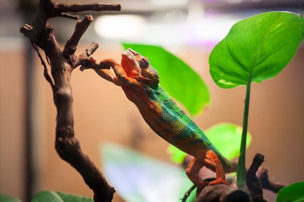 Kameleon panther sięga po gałąź drzewa. Premium Zdjęcia