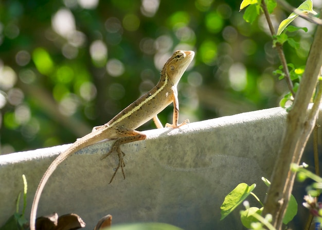 Kameleon W Ogrodzie Premium Zdjęcia