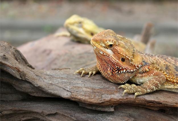 Kameleon Zwierzę Na Drewnie Premium Zdjęcia