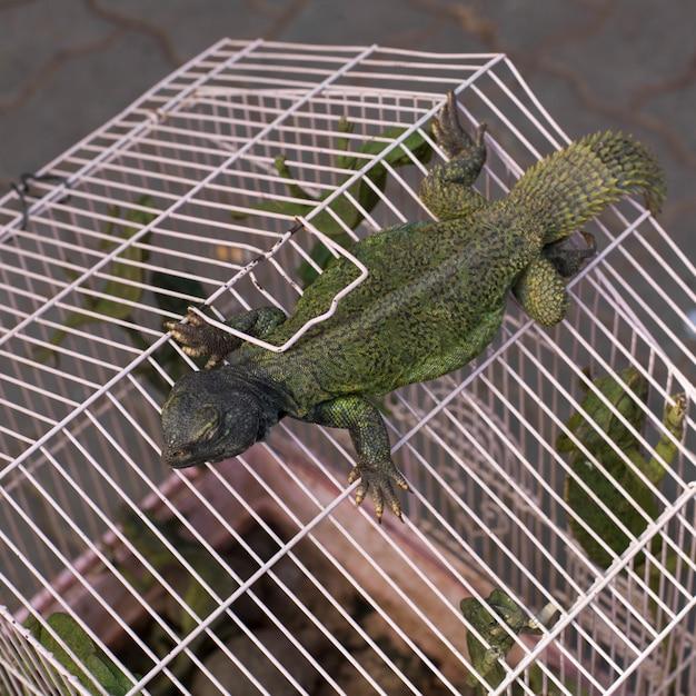 Kameleony W Klatce, Rahba Kedima, Souk, Marakesz, Maroko Premium Zdjęcia