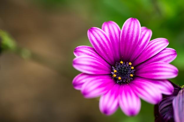 Karta Uczuciowa Ze świeżym Delikatnym Kwiatem Afrykańskich Stokrotek Na Niewyraźne Naturalne Tło. Premium Zdjęcia