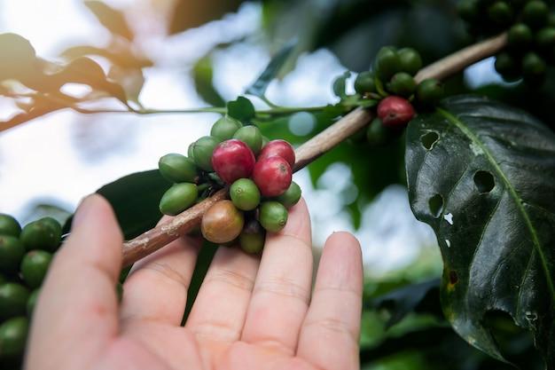Kawowe jagody na drzewie z agriculturist ręką. Premium Zdjęcia