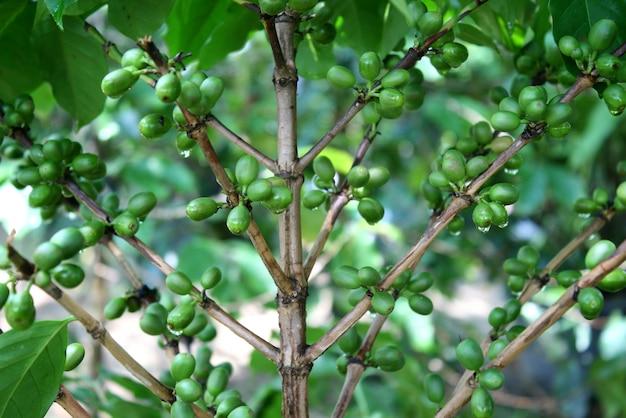 Kawowy drzewo z zielonymi kawowymi fasolami na gałąź Premium Zdjęcia