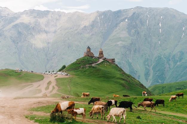 Kazbegi, Gruzja: Kościół świętej Trójcy Gergeti (tsminda Sameba) Z Krowami Z Przodu, Kościół świętej Trójcy W Pobliżu Wioski Gergeti W Gruzji, Pod Górą Kazbegi Premium Zdjęcia