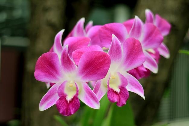 Kilka żywych Różowo-białych Kwitnących Orchidei Premium Zdjęcia