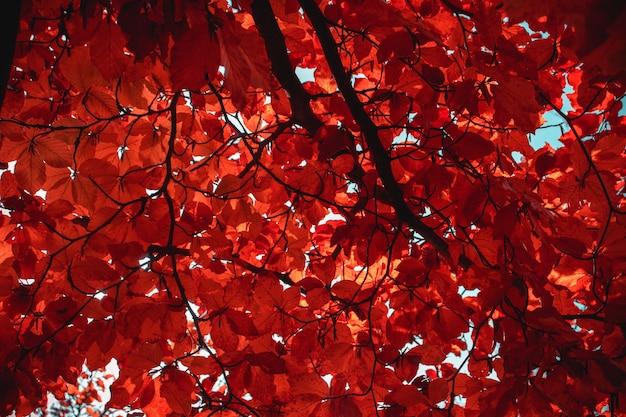 Klon Z Pomarańczowymi Liśćmi Jesienią Darmowe Zdjęcia