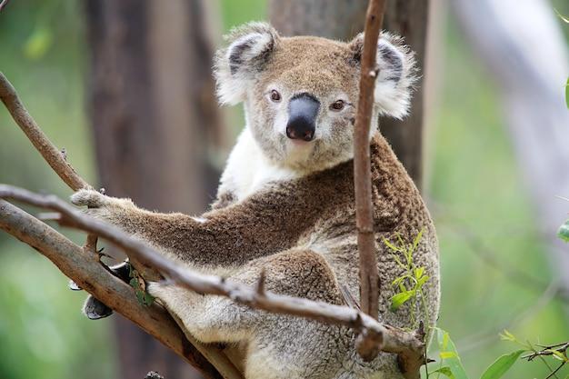 Koala W Drzewie Premium Zdjęcia