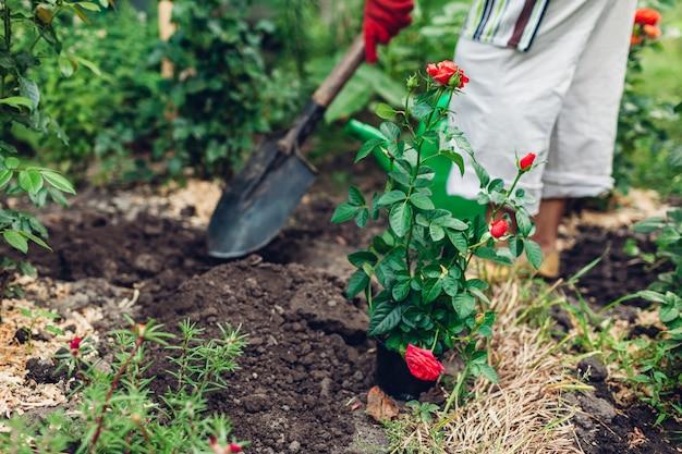 Kobieta ogrodnik przesadzanie kwiatów róż z doniczki na mokrą ziemię. Premium Zdjęcia