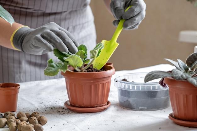 Kobieta Ogrodnik Przeszczep Fioletowe. Pojęcie Domowego Ogrodnictwa I Sadzenia Kwiatów W Doniczce, Dekoracji Wnętrz Roślin Premium Zdjęcia