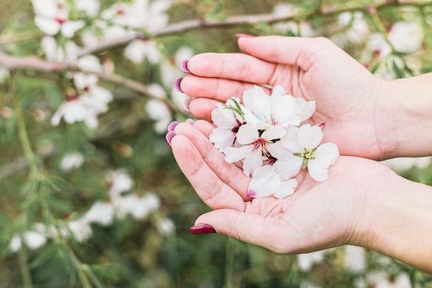 Kobieta Wręcza Trzymać Pięknego Migdałowego Drzewa Kwiaty Z Zielonym Tłem Premium Zdjęcia