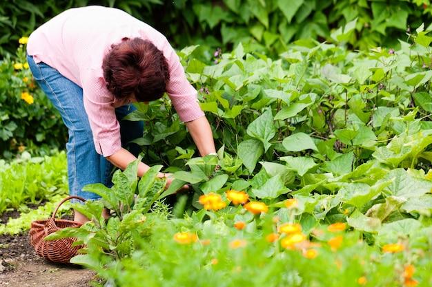 Kobieta zbiera ogórki w jej ogródzie Premium Zdjęcia