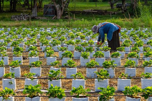 Kobiety pracujące w pięknych truskawkowych polach wieczorem. Premium Zdjęcia