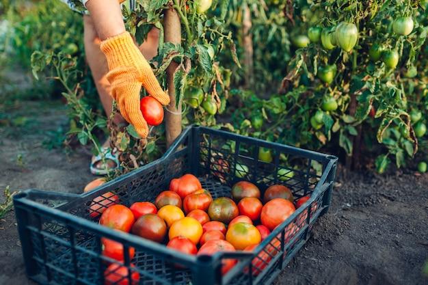 Kobiety rolnika kładzenia pomidory w pudełku na eco gospodarstwie rolnym, zbiera jesieni uprawy warzywa, ogrodnictwo Premium Zdjęcia