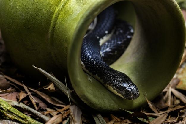 Kobra Indochińska Plująca Premium Zdjęcia