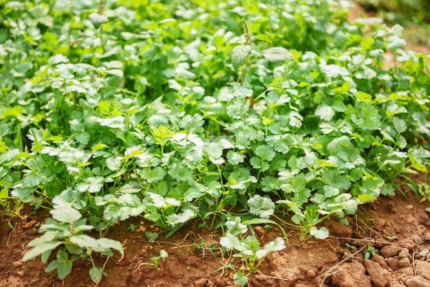Kolendrowy Sadzenie Jarzynowy Ogród Na Ziemi W Jarzynowym Organicznym Gospodarstwie Rolnym Premium Zdjęcia