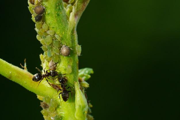Kolonia Mszyc I Mrówek Na Roślinach Ogrodowych Premium Zdjęcia