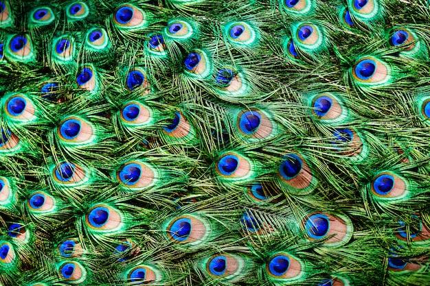 Kolorowe Pawie Pióra Premium Zdjęcia