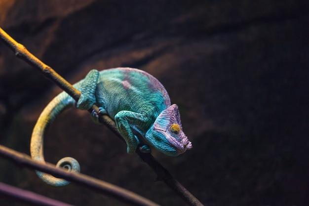 Kolorowego kameleonu turkusowy koloru dosypianie na gałąź. Premium Zdjęcia