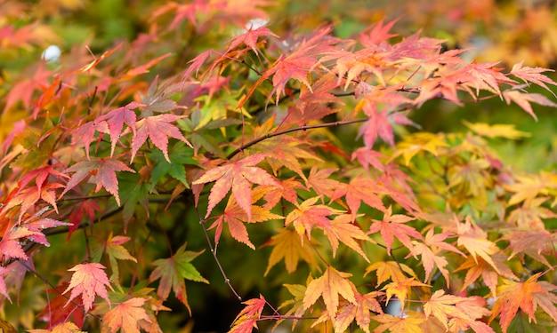 Kolorowy Liści Klonu W Sezonie Jesiennym Premium Zdjęcia