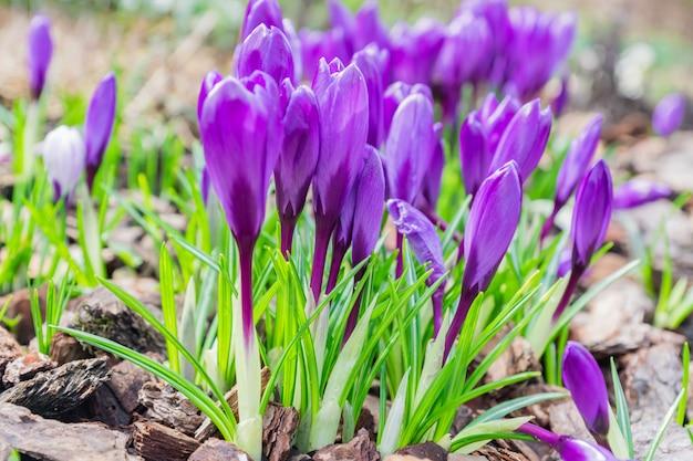 Kolorowy Purpurowy Krokus Kwitnie Kwitnienie Na Pogodnym Wiosna Dniu W Ogródzie Premium Zdjęcia