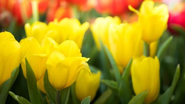 Kolorowy żółty Tulipanowy Kwiat W Natura Ogródzie Premium Zdjęcia