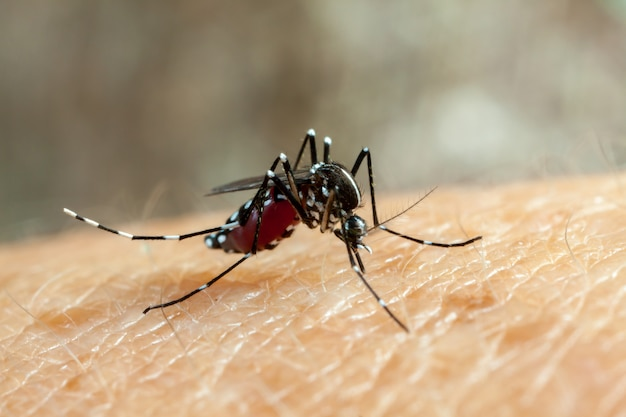 Komar Denga, Zika I Chikungunya (aedes Aegypti) Gryzie Ludzką Skórę - Picie Krwi Premium Zdjęcia