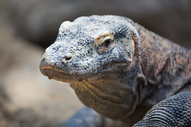 Komodo smok varanus komodoensis z bliska portret Premium Zdjęcia