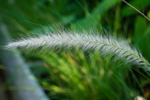 Komunistyczna Trawa Kwitnie W świetle Słonecznym. Komunistyczny Kwiat Trawy W Słońcu Podczas Zachodu Słońca, Jasne Kwiaty Shinny Z Włosami. Premium Zdjęcia