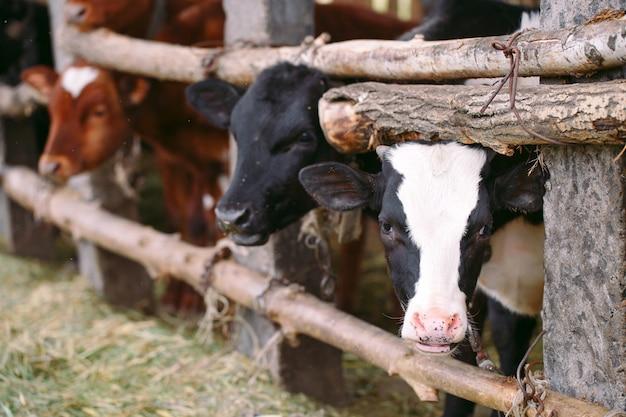 Koncepcja Rolnictwa, Hodowli I Hodowli Zwierząt. Stado Krów W Oborze Na Fermie Mlecznej Premium Zdjęcia