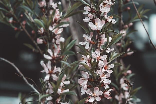 Koncepcja Spa. Piękny Różowy Kwiat Migdałowy Kwiat Premium Zdjęcia