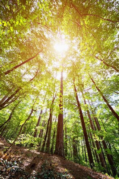 Korony Drzew W Wiosennym Lesie Na Tle Nieba Z Promieniami Słońca Premium Zdjęcia