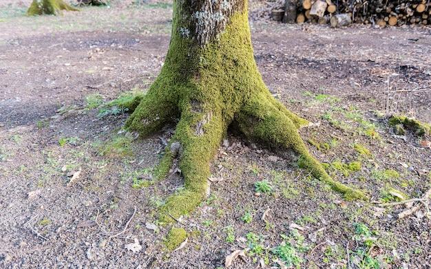 Korzenie Drzew Pokryte Mchem Premium Zdjęcia